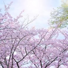 cherry-blossom_00018